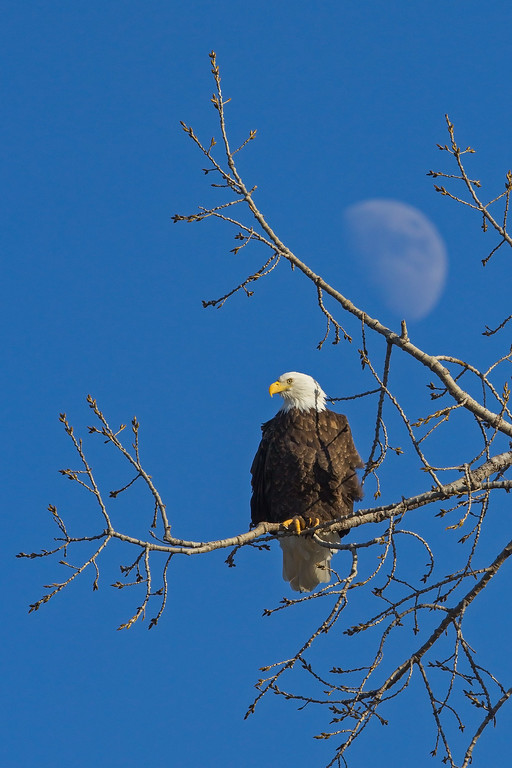 IMG_3574%20eagle%20moon-XL.jpg